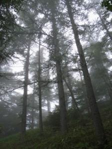 Forest canopy in Kirifuri (Ricoh GR Digital)