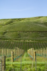 Vineyard outside of Martinborough (Nikon D2H + 40mm f2 ULTRON