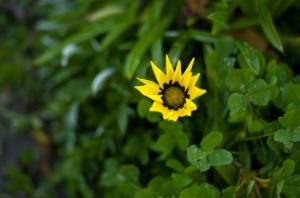 Lone Flower at the Beach (Nikon D2H + 40mm f2 ULTRON)