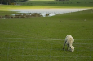Lone Sheep outside Martinborough (Nikon D2H + 105mm f2.5 AIS)