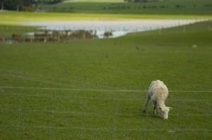 Lone Sheep outside Martinborough (Nikon D2H + 105mm f2.5 AIS)