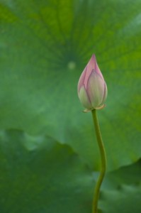 Lotus flower, I guess (Nikon D2H + 105mm f2.5 AIS)