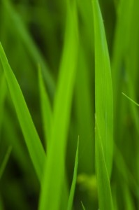Blades of Grass (Nikon D2H + 105mm f2.5 AIS)