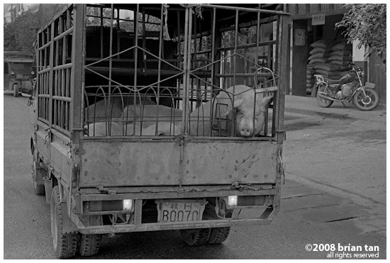 Gaotian: Truck full of live pigs