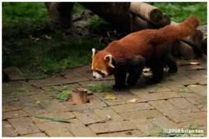 Red Panda at Sichuan Panda Research Center