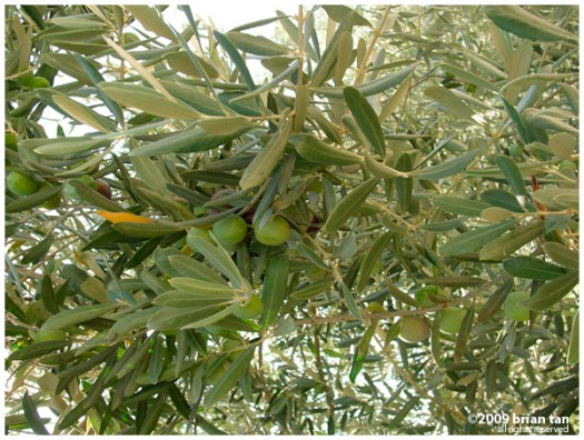 Olives in Iznik