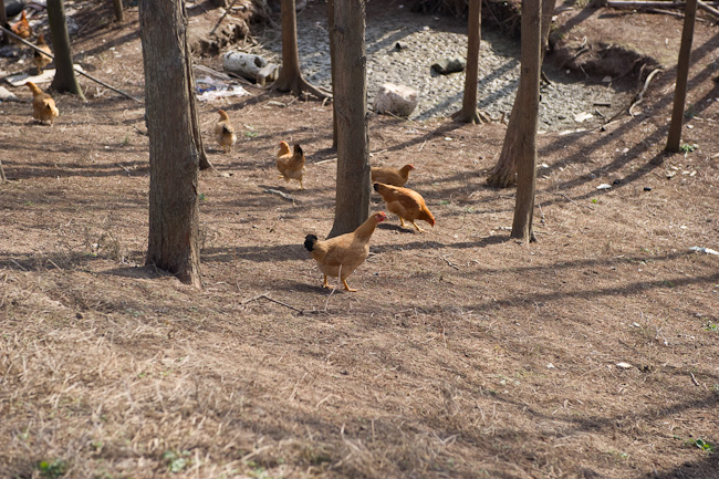 Chickens running around without enclosures